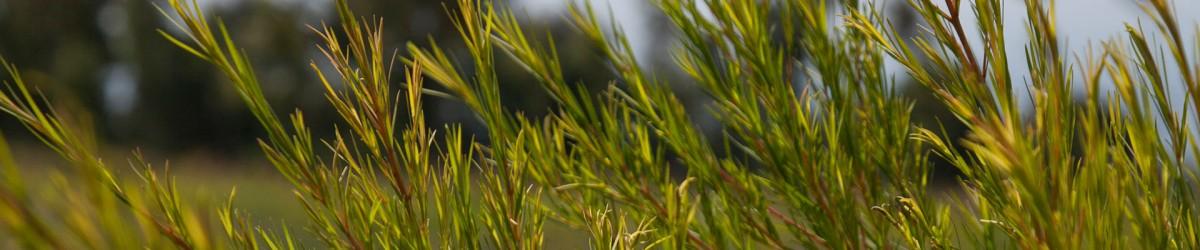 tea-tree-01